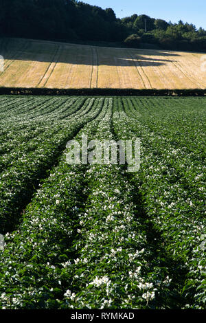 Potato Fields in flower near Scrabo in County Down, Northern Ireland - Stock Image