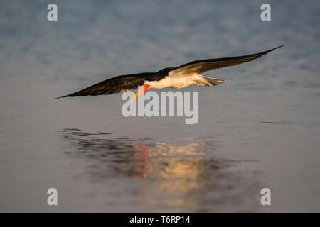 African skimmer (Rynchops flavirostris), Chobe river, Botswana, August 2018 - Stock Image