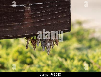 evergreen bagworms or North American bagworms,Thyridopteryx ephemeraeformis, with larvae emerging from cocoons hanging on wood. Wichita, Kansas, USA. - Stock Image