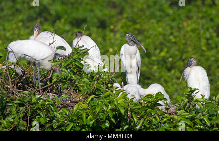 A group of nesting Wood Storks and their young in the Florida Everglades. This was photographed during the spring and there were hundreds of them. - Stock Image