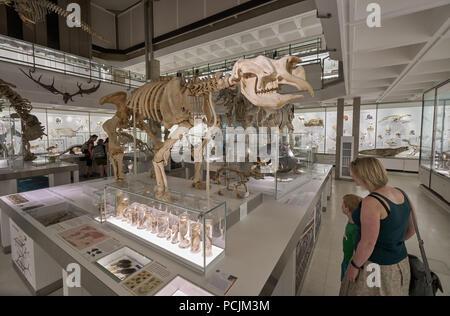 zoology musueum cambridge - Stock Image