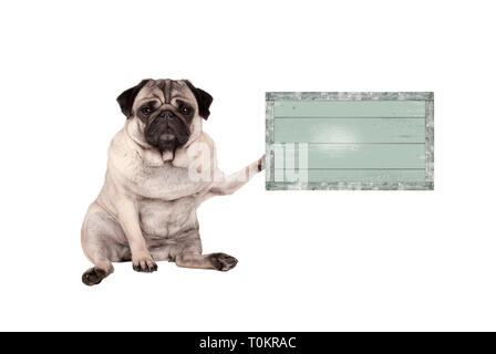 cute grumpy pug puppy dog, sitting down, holding weathered vintage green wooden sign board, isolated on white background - Stock Image