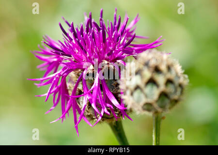 Greater Knapweed (centaurea scabiosa), close up of a single flower with bud. - Stock Image