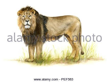 asian loewe panthera leo persica - Stock Image