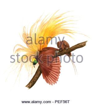 great paradise bird paradisaea apoda - Stock Image