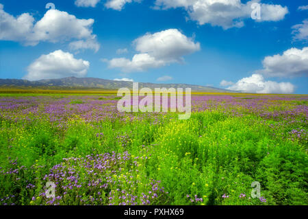 Purple Fern Leaf Phacelia (Phacelia tanacetifolia) Carrizo Plain National Monument, California - Stock Image