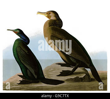 1 Pelagic Cormorant, Phalacocorax pelagicus, 2 Brandt s Cormorant, Phalacrocorax penicillatus, birds, 1827 - 1838 - Stock Image