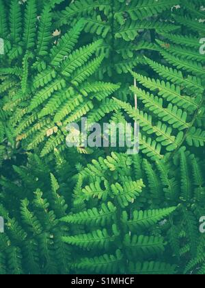 Green fern leaves - Stock Image