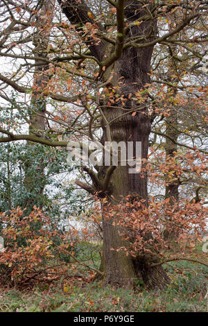 Mature oak and woodland, late Autumn early Winter. - Stock Image