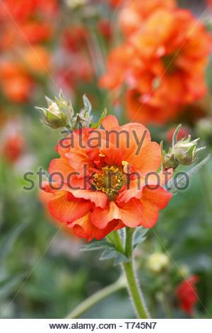 Geum 'Scarlet Tempest' flowers in Spring. - Stock Image