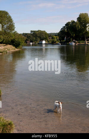 Jack Russell parsons terrier standing in water, Cookham and the River Thames near High Wycombe, Buckinghamshire, - Stock Image