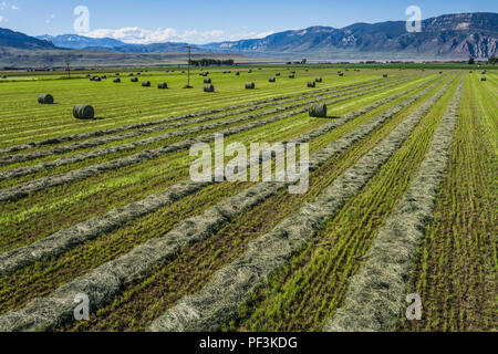 Green hay lays on the ground after being cut in a farm field. - Stock Image
