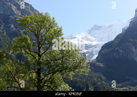 The deciduous tree and rocky mountains shows the alpine landscape as seen from Grindelwald - Stock Image