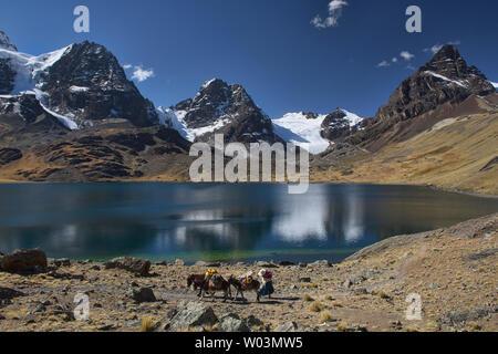 Pack mules at Chiar Khota Lake and Condoriri Basecamp along the Cordillera Real Traverse, Bolivia - Stock Image
