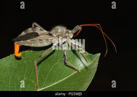 Close-up of a wheel bug with scent glands showing. - Stock Image