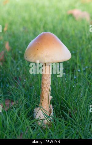 Amanita crocea, Orange Grisette, fungi, toadstool, mushroom, Ebernoe cricket field, Sussex, October - Stock Image