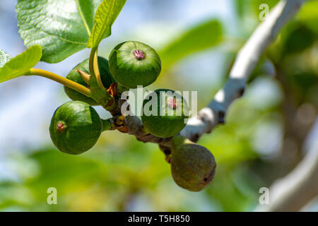 Unripe green figs fruits riping on fig tree close up - Stock Image