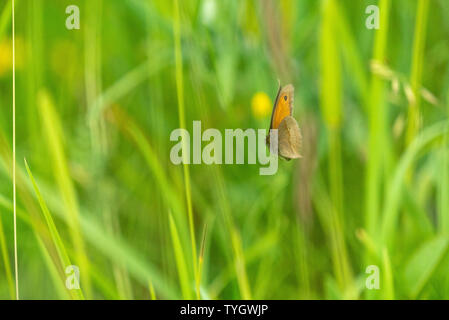 Flying Clouded Yellow Butterfly in Wiltshire, UK - Stock Image