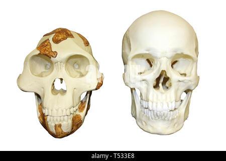 Skull of Lucy Australopithecus afarensis vs Modern Human Homo sapiens - Stock Image