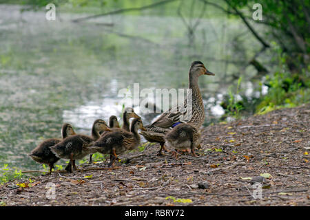 A wild mother duck waddles alongside a pond with a clutch of fuzzy ducklings following her - Stock Image