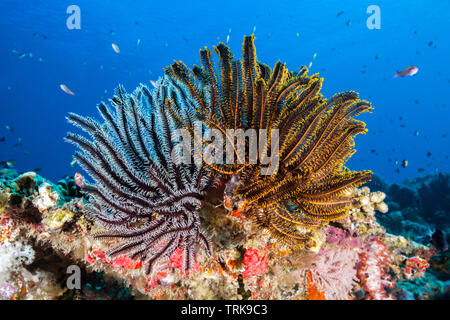 Crinoids in Coral Reef, Comaster schlegeli, Lissenung, New Ireland, Papua New Guinea - Stock Image