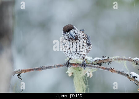 The spotted nutcracker, Eurasian nutcracker, or just nutcracker, Latin name Nucifraga caryocatactes, perched in - Stock Image