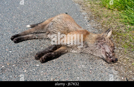 Roadkill, a decaying dead red fox cub with swarming and egg laying bluebottles. A fox cub killed in the traffic - Stock Image