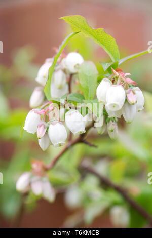 Vaccinium corymbosum. Blueberry flowers. - Stock Image