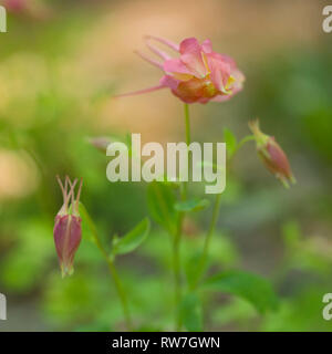 Swan Pink and Yellow Columbine, Aquilegia caerulea, Buds about to Blossom - Stock Image