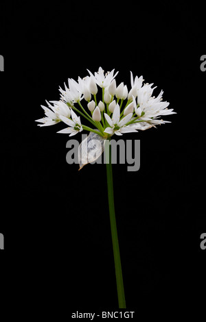 Ramson flower - Stock Image