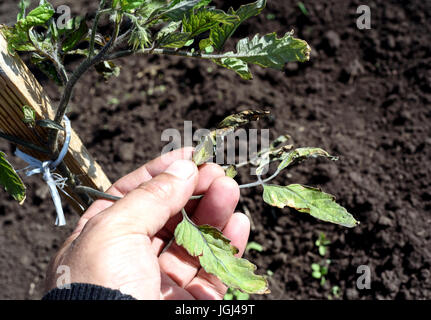 Male hand inspects a windblown tomato plant in a garden damaged from strong winds. Leaf tips are crisp and destroyed - Stock Image