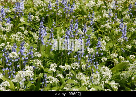 Purple and white flowers : Spanish bluebells (Hyacinthoides hispanica)  and Wild garlic (Allium ursinum) in British woodland - Stock Image