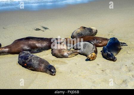 Sea lions enjoying a nap in the afternoon sun of La Jolla Cove in La Jolla, California - Stock Image