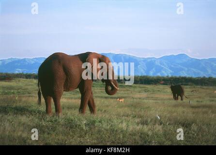ZIMBABWE KARIBA Fothergill ISLAND ELEPHANTS - Stock Image