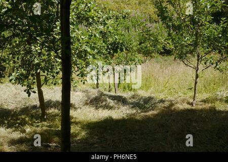 Scythe cut hay drying amongst fruit trees, Wales, UK. - Stock Image