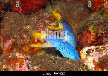 Two Blue Ribbon Eels, Rhinomuraena quaesita, sharing the same burrow. Tulamben, Bali, Indonesia. Bali Sea, Indian Ocean - Stock Image