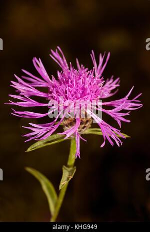 Common Knapweed Flower - Stock Image