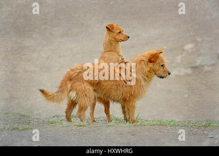 Two Playful Dogs In The Streets Of Xiahe, Gansu Province, China - Stock Image