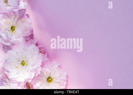 Violet paper blank and beautiful flowers of almond plant on it. - Stock Image