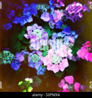 Hydrangeas in flower - Stock Image
