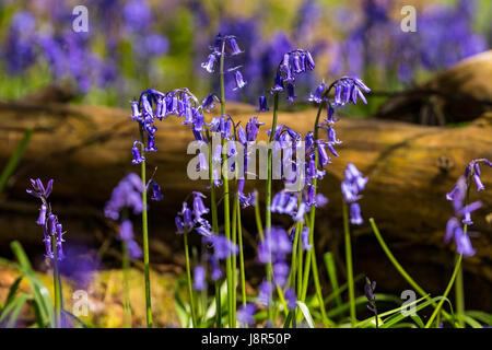 Bluebells (Hyacinthoides non-scripta) in Cowleaze Wood, Oxfordshire, England, United Kingdom - Stock Image