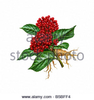 Ginseng with Leaves and Roots - Stock Image