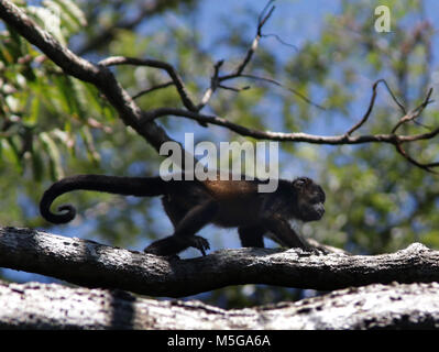 Howler Monkey Corcovado National Park, Osa Peninsula, Costa Rica. - Stock Image