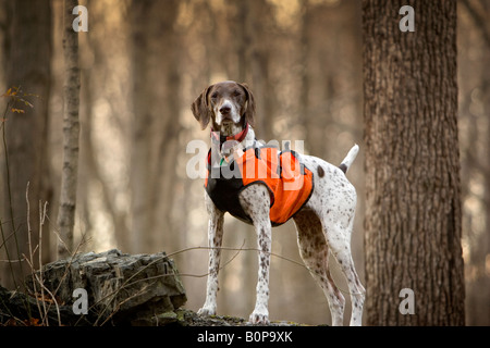 German Short hair pointer with orange hunting vest in woods - Stock Image