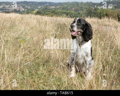 springer spaniel, 10 year old male, sitting on Farthing Down, Coulsdon, Surrey - Stock Image