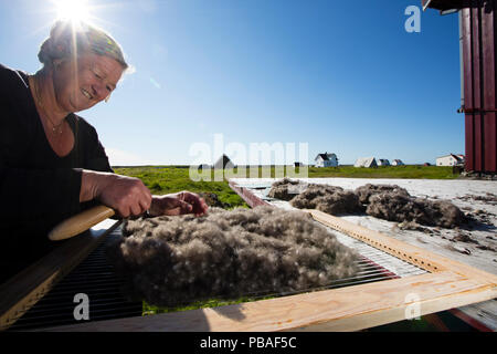 Margit cleaning down from Common eider (Somateria mollissima) with traditional harp tool whilst some dries in the sun, Lanan Island, Vega Archipelago, Norway June - Stock Image