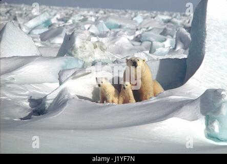 A Polar bear mother and two cubs on the Beaufort Sea ice January 16, 2001 in Alaska. - Stock Image