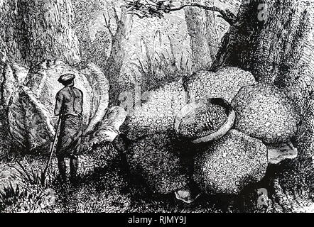 An engraving depicting the flowers and buds of Rafflesia in the Sumatra forest. Dated 19th century - Stock Image