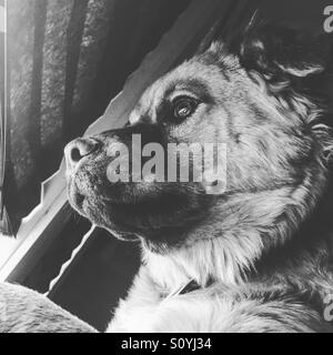 Chow retriever puppy looks out the window - Stock Image
