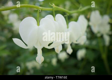White bleeding heart flowers - Dicentra spectabilis 'Alba' - in Hendricks Park in Eugene, Oregon, USA. - Stock Image